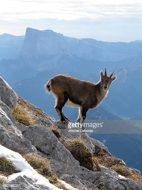 Young ibex in French Alps