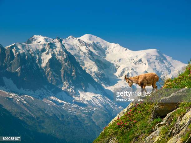 A young ibex, or mountain goat, in front of the Mont Blanc.