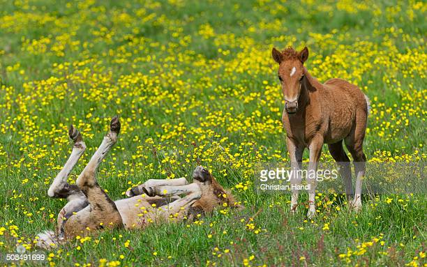 Young Icelandic horses, foals, on a flower meadow, Iceland, Europe