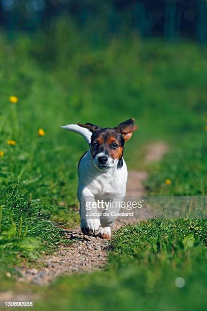 Young Jack Russell Terrier dog (Canis lupus familiaris), pup, male, 12 weeks, domestic dog
