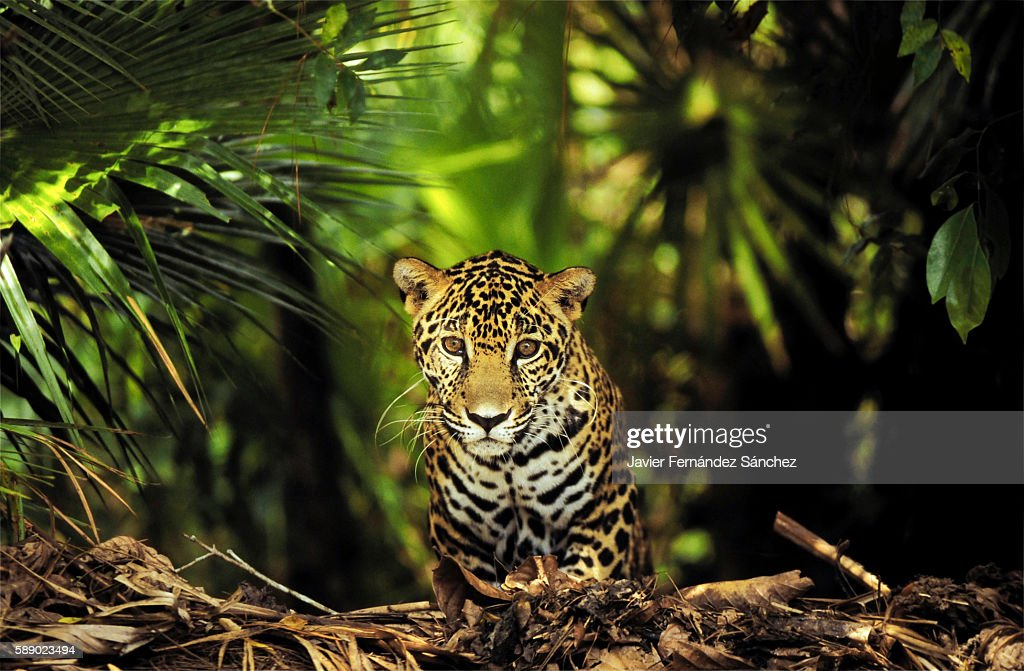 A young jaguar (Panthera onca) photographed between the lush jungle of Central America, Belize. Looking at camera.