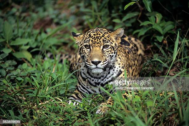 A young jaguar resting in the rainforest of Belize