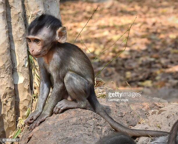 Young jungle monkey sits on a stone - Angkor Thom, Cambodia