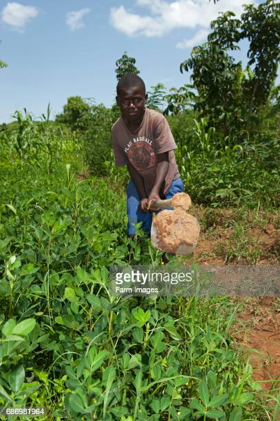 Young Kenyan boy working soil in a patch of ground nuts Kenya