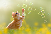 young kitten playing with soap bubbles, bubbles on green meadow
