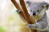 close-up of a young koala bear (Phascolarctos cinereus) on a tree