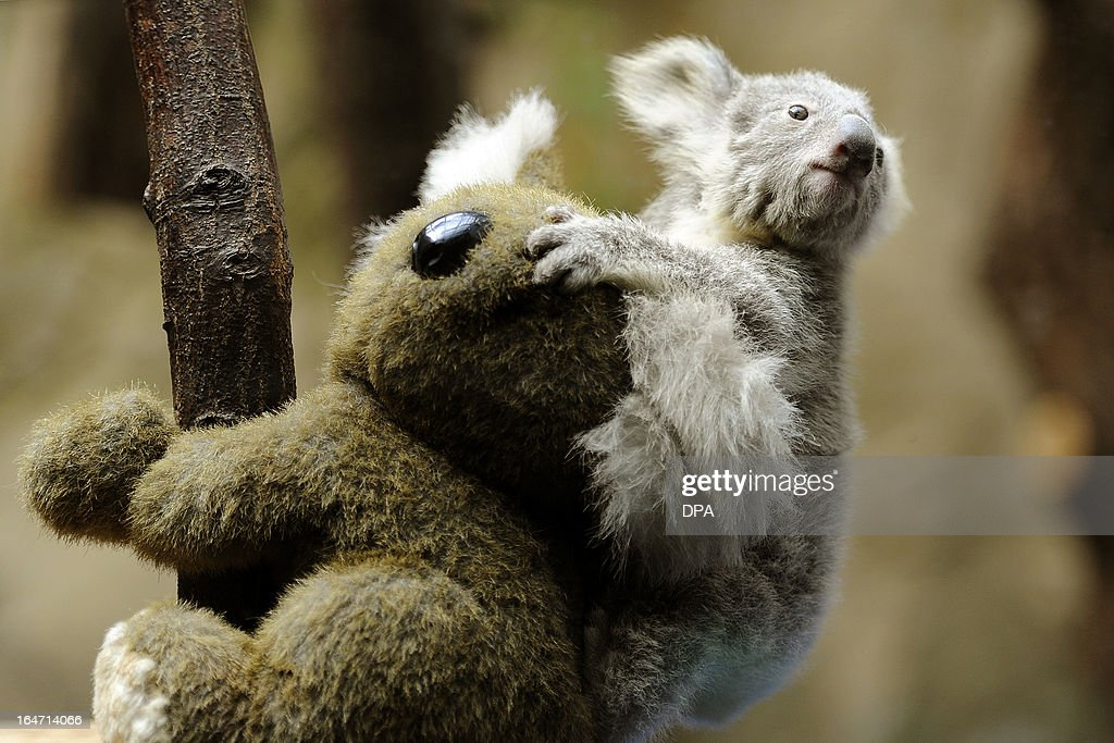 A young koala sits on the back of a toy koala while being weighed in the zoo in Duisburg, Germany, on March 27, 2013. The young animal is one of two baby koalas, that were born in the zoo six months ago. AFP PHOTO / MARIUS BECKER GERMANY OUT