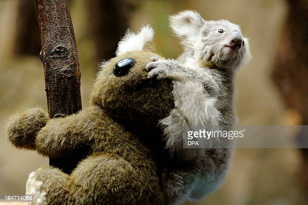 A young koala sits on the back of a toy koala while being weighed in the zoo in Duisburg Germany on March 27 2013 The young animal is one of two baby...