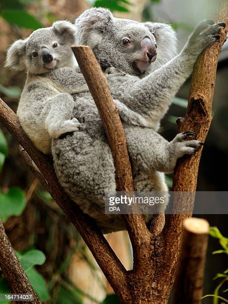 A young koala sits on the back of its mother in their enclosure at the zoo in Duisburg Germany on March 272013 The young animal is one of two baby...