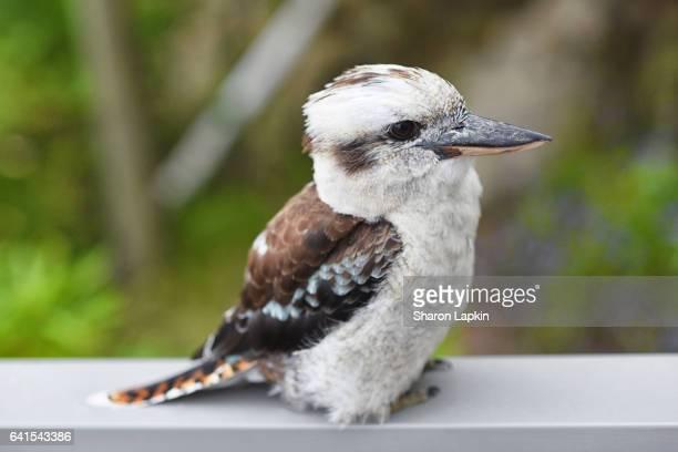 Young kookaburra standing on railing