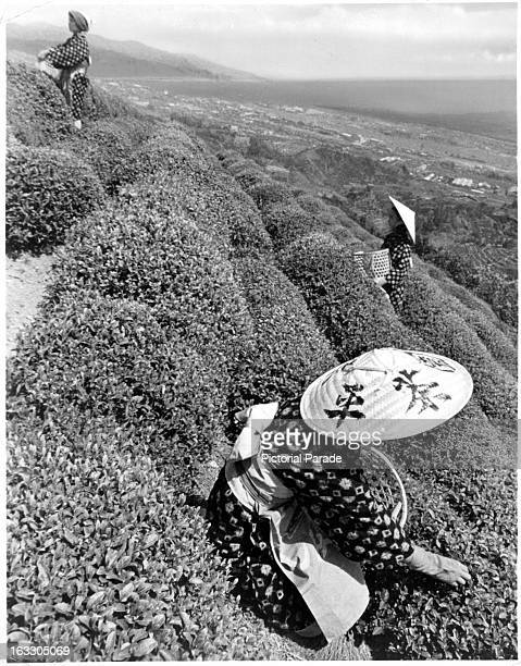 A young lady wearing a straw head covering and 'Kasuri' kimono picks tea leaves from the side of a hill in Shizuoka Prefecture Japan 1955