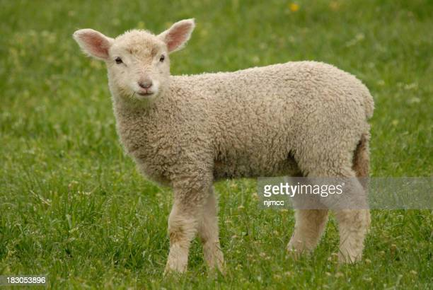 young lamb on grass