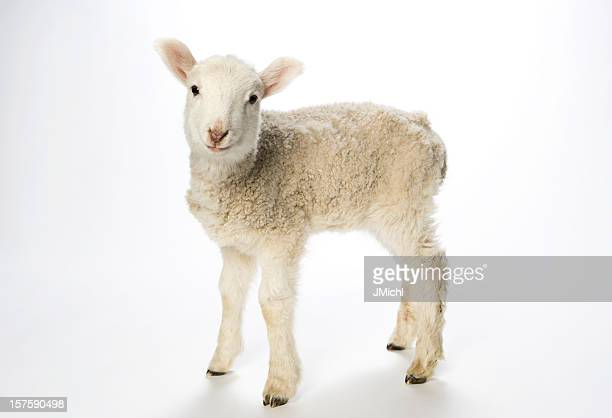 Young lamb on white background looking at camera.