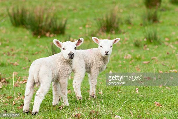 Young Lambs in Spring