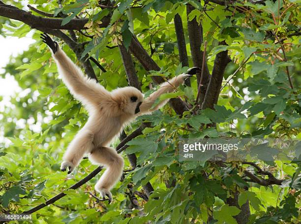 Young Lar Gibbon playing in the Tree, Mid-Air