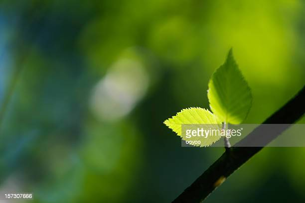 Young leaves in forest