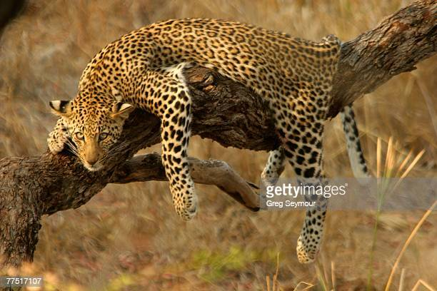 Young Leopard (Panthera pardus) Sprawled Over a Branch Resting. Kruger National Park, Limpopo Province, South Africa