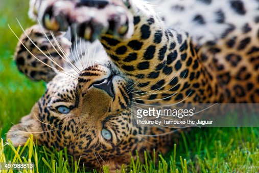 Jaguar animal paw - photo#18