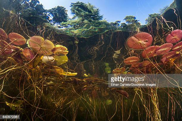 Young lily pads grow to the surface along the edge of a freshwater lake.