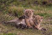 Young lion cubs playing