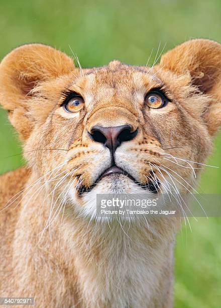 Young lioness looking upwards