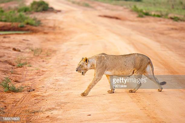 Young Lioness walking in morning sun