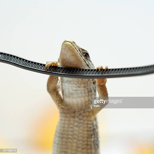 Young Lizard Doing Chin Up Workout