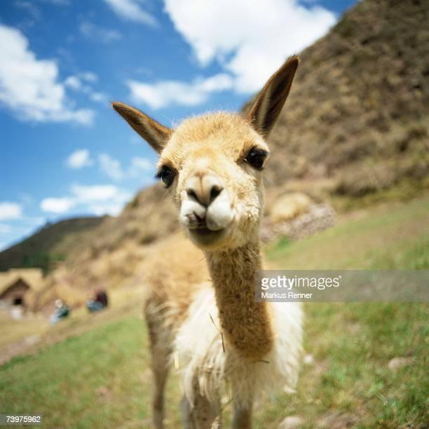 Young Llama on a hillside, Inca trail, Peru