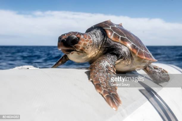A young Loggerhead Turtle after having been rescued