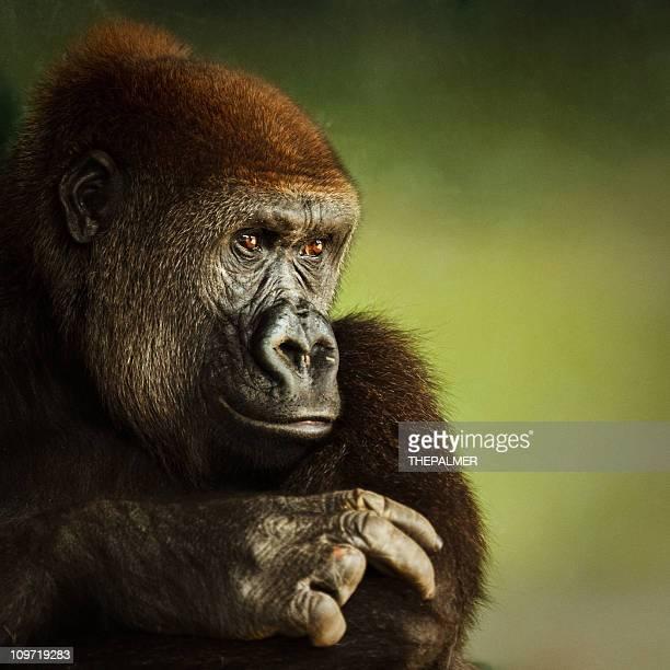 portrait de jeunes Gorille des basses terres