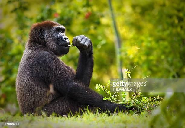 young lowland gorilla portrait