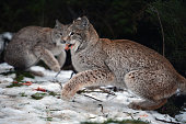 Young Lynx are fed in their enclosure at the Highland Wildlife Park on December 16 2015 in KincraigScotland Concerns have been raised by Scottish...