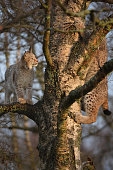 Young Lynx cubs play in at tree at their enclosure at the Highland Wildlife Park on December 16 2015 in KincraigScotland Concerns have been raised by...