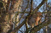 Young Lynx play in at tree at their enclosure at the Highland Wildlife Park on December 16 2015 in KincraigScotland Concerns have been raised by...