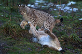 Young Lynx play in their enclosure at the Highland Wildlife Park on December 16 2015 in KincraigScotland Concerns have been raised by Scottish...