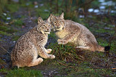 Young Lynx sit in their enclosure at the Highland Wildlife Park on December 16 2015 in KincraigScotland Concerns have been raised by Scottish...