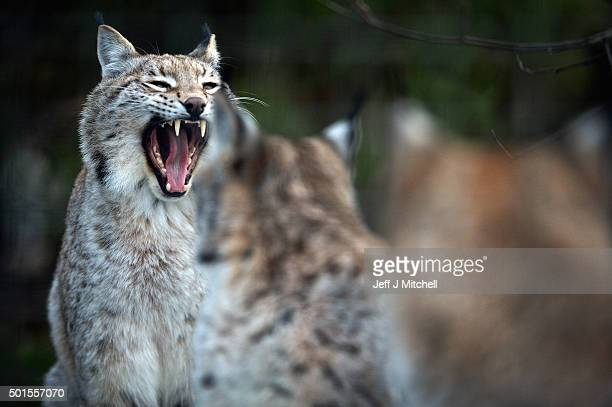 Young Lynx wait to be fed in their enclosure at the Highland Wildlife Park on December 16 2015 in KincraigScotland Concerns have been raised by...