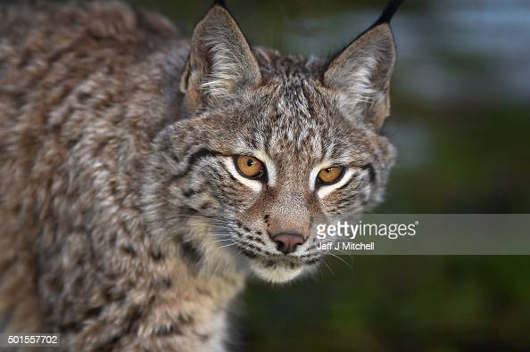 A young Lynx waits to be fed in their enclosure at the Highland Wildlife Park on December 16 2015 in KincraigScotland Concerns have been raised by...