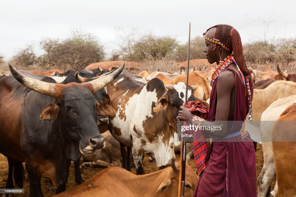 Young Maasai warrior (moran) with cattle in background, : Stock Photo