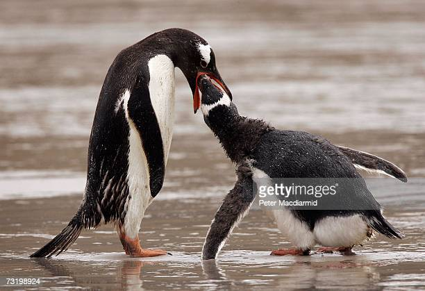 A young Magellanic penguin is fed by it's parent on February 3 2007 on Saunders Island Falkland Islands