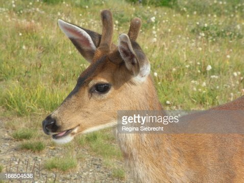 Young Male Deer