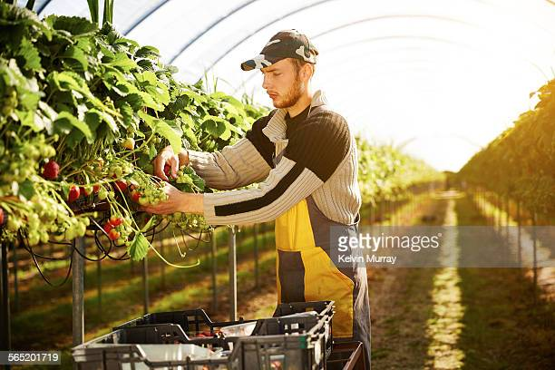 A young male farm worker picks strawberries