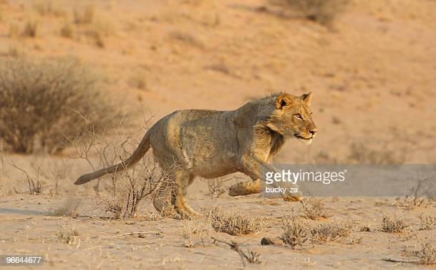 若い男性のライオンの遮断を実行