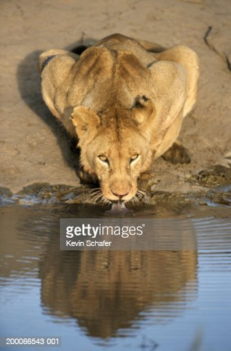 Young male lion (Panthera leo) drinking : Stock Photo