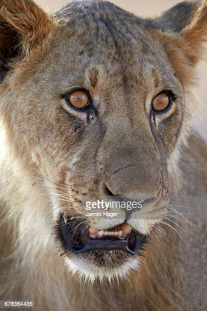 Young male lion (Panthera leo), Kgalagadi Transfrontier Park, encompassing the former Kalahari Gemsbok National Park, South Africa, Africa