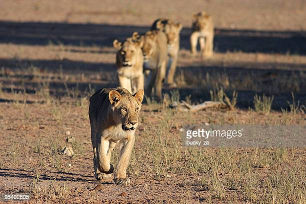 young male lion leading a pride across an open plain.