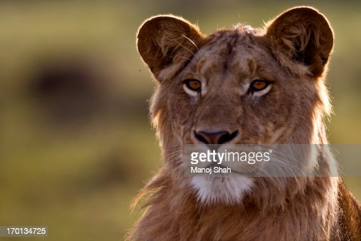 Young Male Lion : Stock Photo