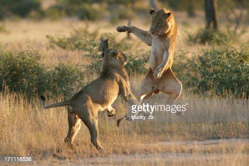 若い男性のライオンズで、それぞれのプレーに飛び込むです。