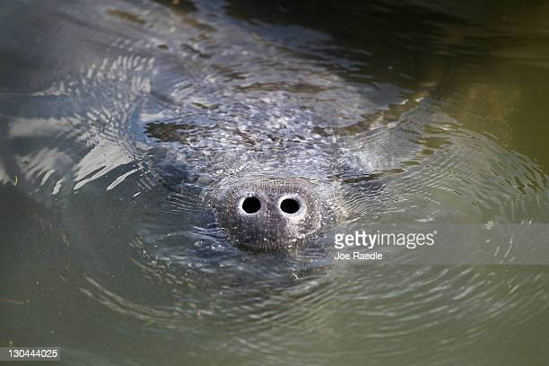 A young male manatee swims near a dead female manatee on October 26 2011 in Miami Beach Florida Dr Maya Rodriguez from Miami Seaquarium's...