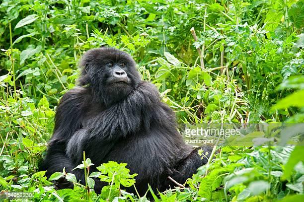 Jeune mâle Gorille des montagnes, photo de la vie sauvage